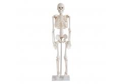 Mô hình bộ xương người